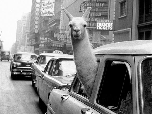 Un lama a Times Square, New York, 1957 © Fotohof archiv Inge Morath Magnum Photos